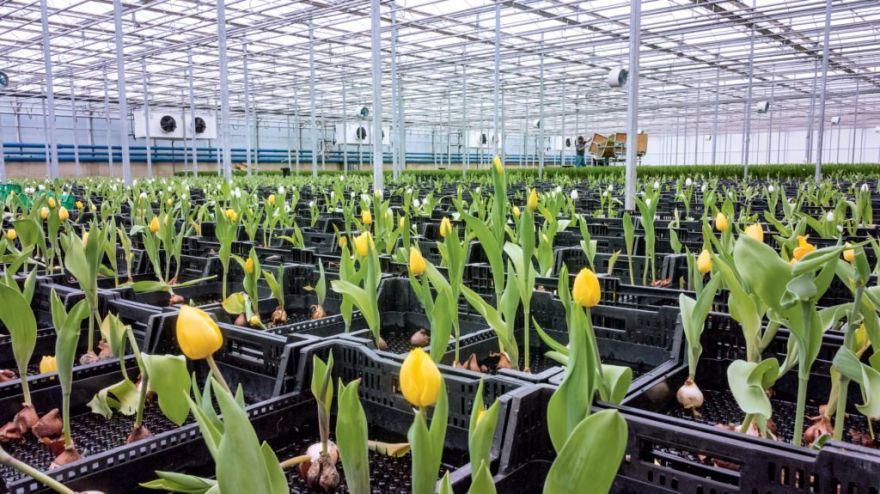 Bloomia: An Indoor Tulip Haven