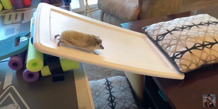 Female Hedgehog Competes on the American Hedgehog Warrior