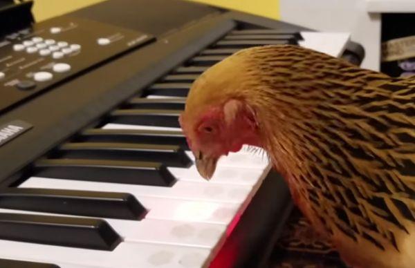 Chicken Plays Quot America The Beautiful Quot Neatorama