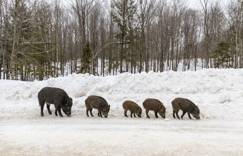 Behind the 30-50 Feral Hogs Meme - Neatorama