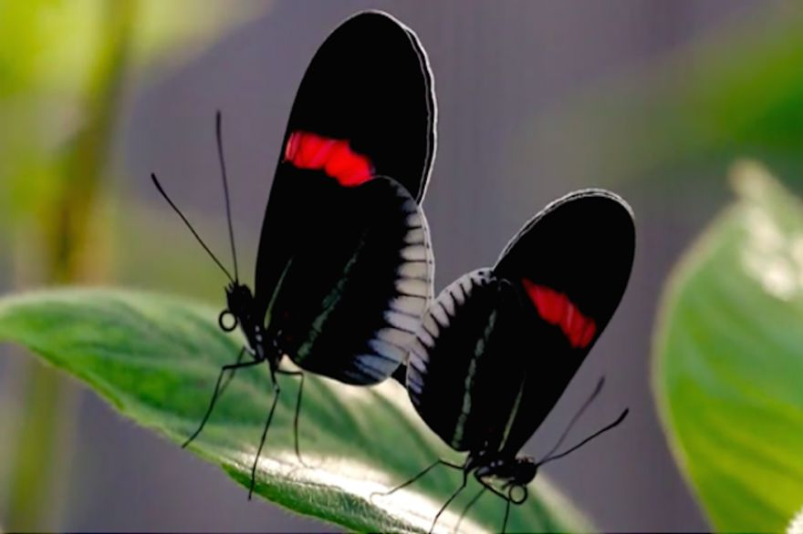 The Heliconian Butterfly's 'Lady in Red'