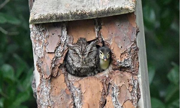 "Duckling to Owl: ""Are you my Mom?"""