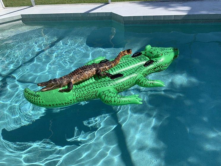 Vacationers Find Alligator On Alligator Pool Float Neatorama
