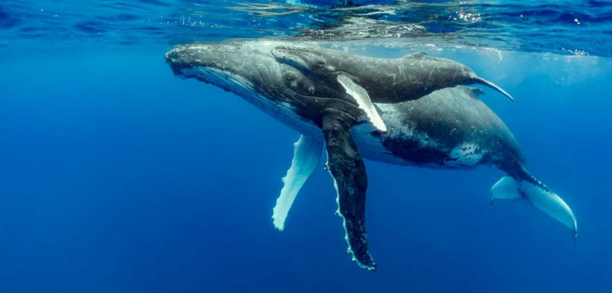 What's With Humpback Whales?