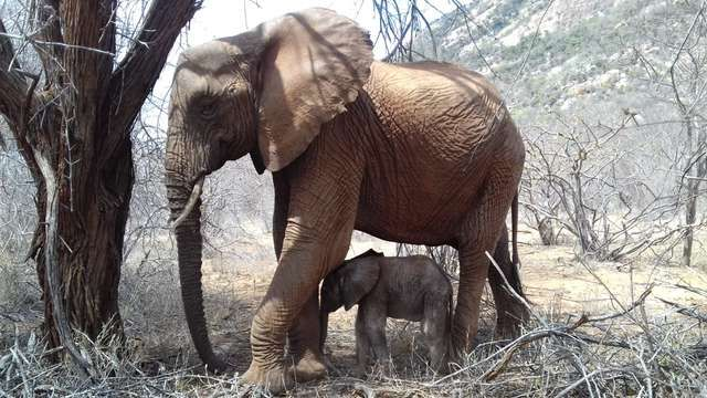 Elephant Introduces Her Newborn Calf To Her Rescuers