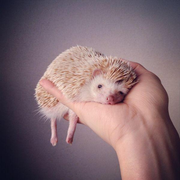 The Cutest Hedgehog On Instagram - Neatorama