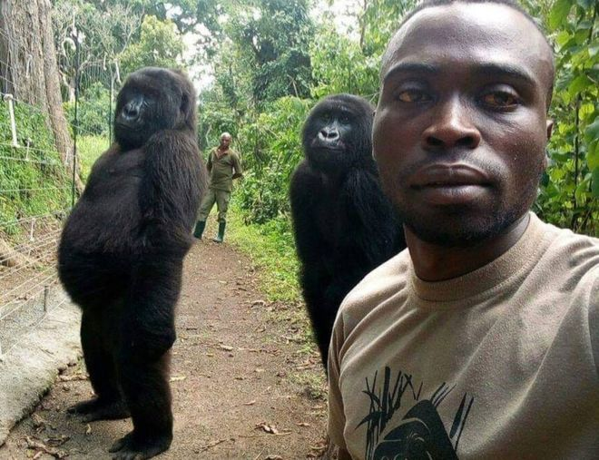 Gorillas Pose for Selfies with Their Hooman Friends
