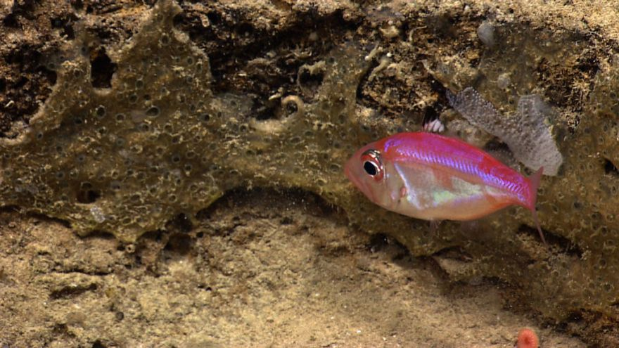 The First Known Mouthbrooding Deep-Sea Fish Discovered