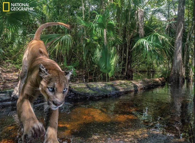 Florida Panther Comeback!