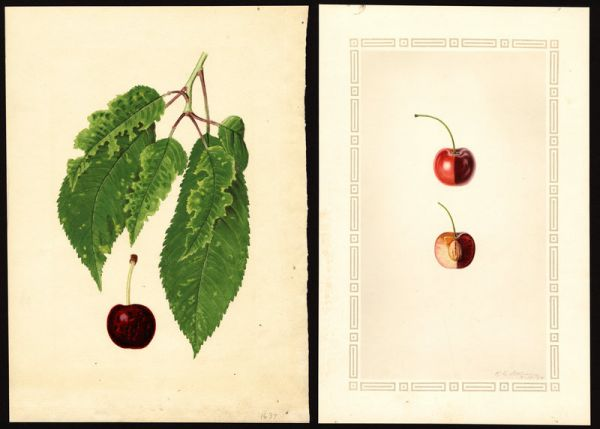 The Tragic Roots of Americas Favorite Cherry
