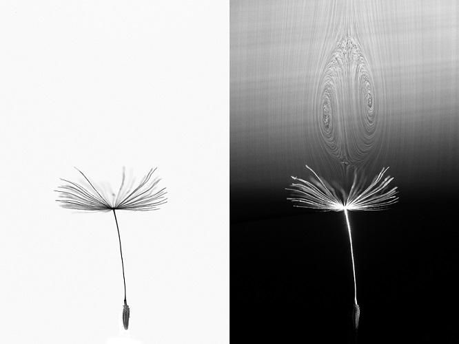 This is How a Dandelion Seed Can Fly Great Distances