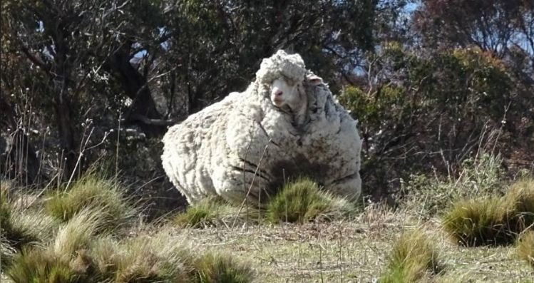 The World's Wooliest Sheep Dies At Age 10